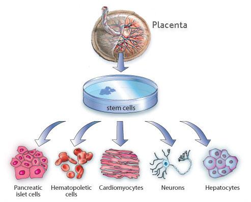 Image result for placental stem cells