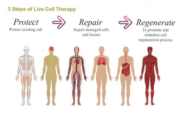 Purtier-Stem-Cell-3-steps-of-live-cell-therapy